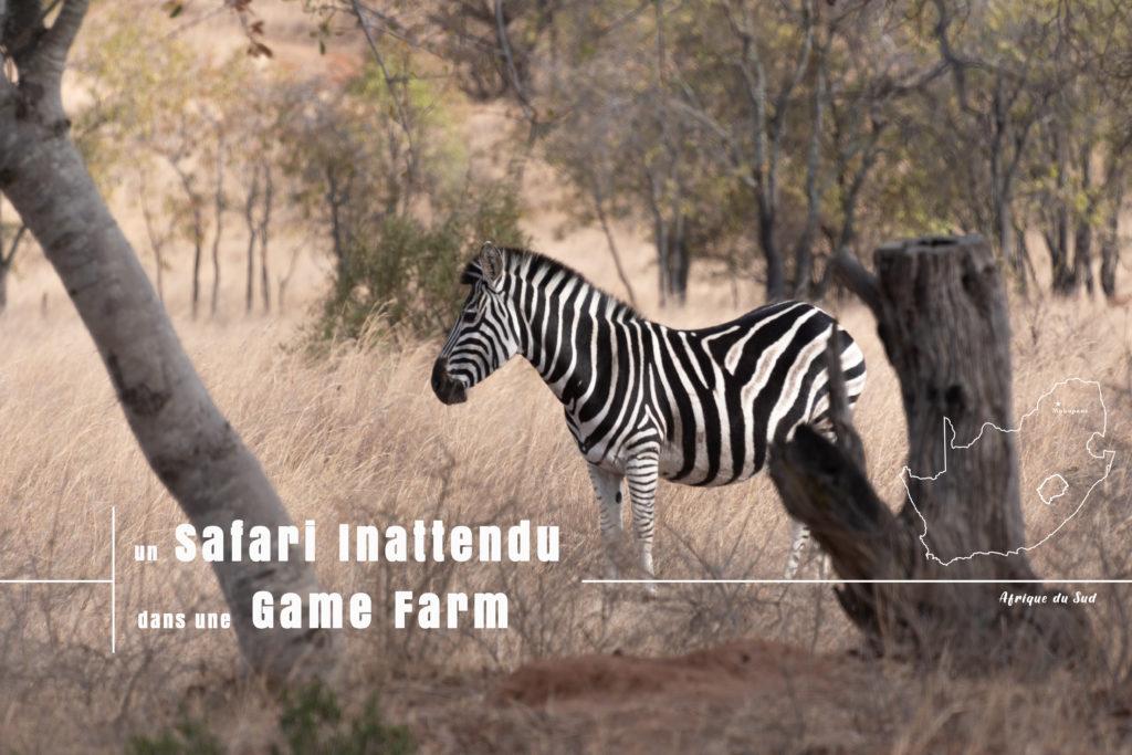 zèbre rencontré lors de notre safari inattendu en famille dans la game farm boekenhoutbult en Afrique du Sud