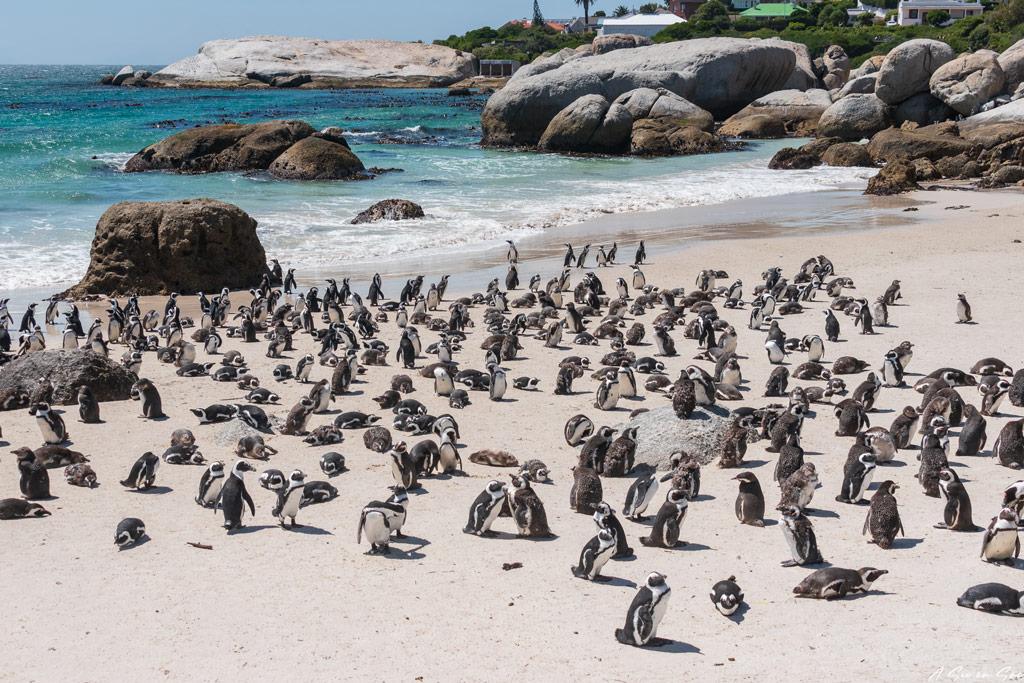 colonie de manchot du cap de Boulders beach-visiter Cape town AFS