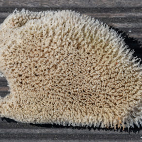 éponge de mer du cap des aiguilles sur la route d' Hermanus Afrique du sud
