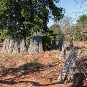 plants de manioc chez Mr Vieng sur la route de Tadlo