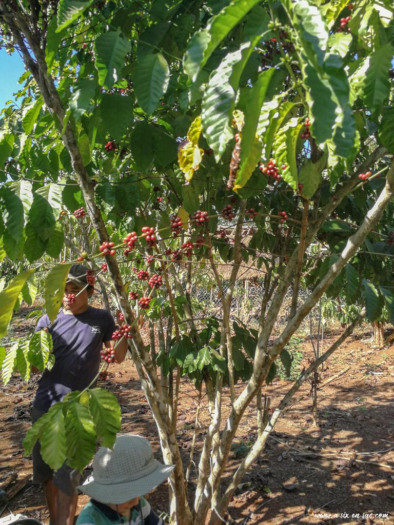 Mr Vieng et un plant de café pendant sa visite sur la boucle du plateau des Bolovens au Laos