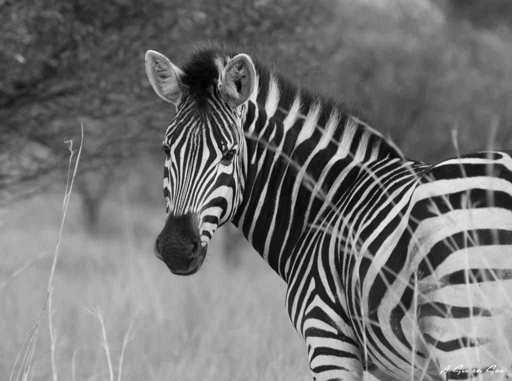 zèbre de la game farm à Mokopane-Afrique du Sud TDM en famille