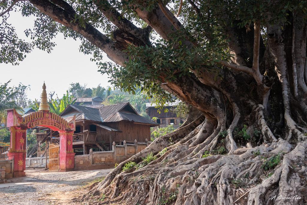 arbre à l'entrée du village où nous passons la première nuit lors de notre trek depuis Hsipaw au Myanmar