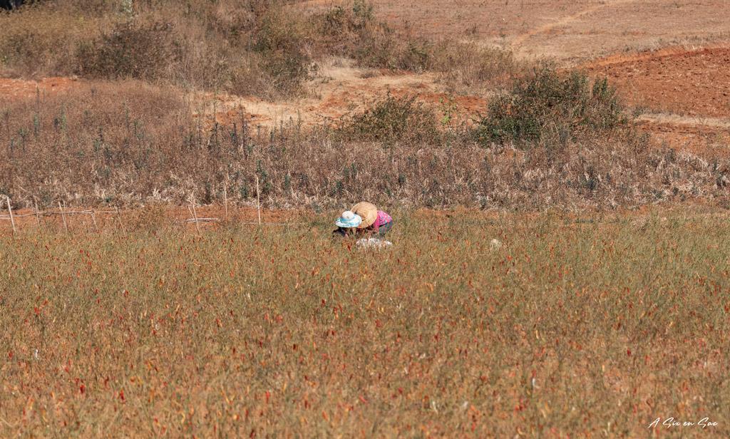 champ de chili entre Hsipaw et le lac Inle, Myanmar ( fiche pratique )