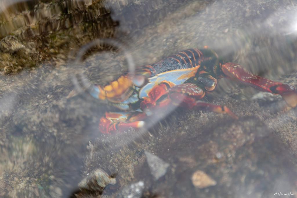 crabe au travers de la surface rencontrée pendant la marche des Tuneles à Isla Isabela aux Galapagos en novembre 2020