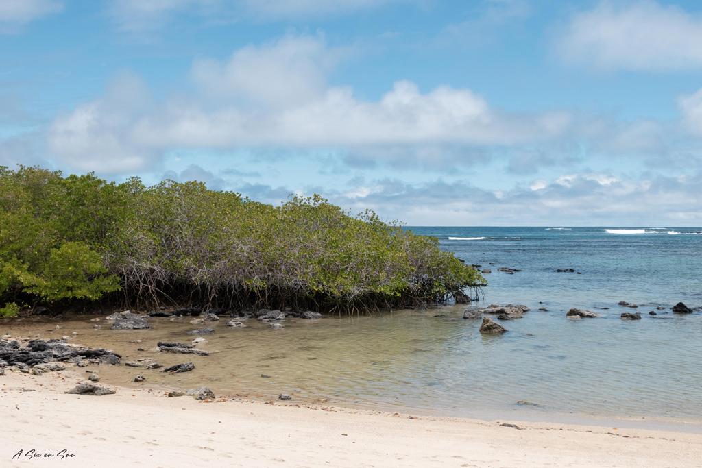 los alemanes-plage et mangrove-santa cruz-galapagos-novembre2020