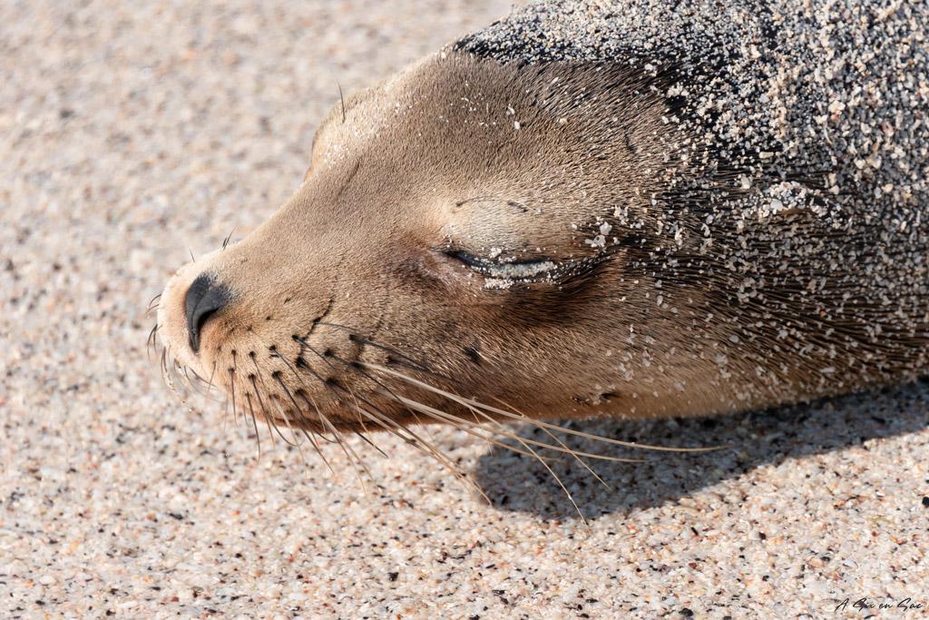 otarie endormie sur la playa mann Galapagos San cristobal Equateur