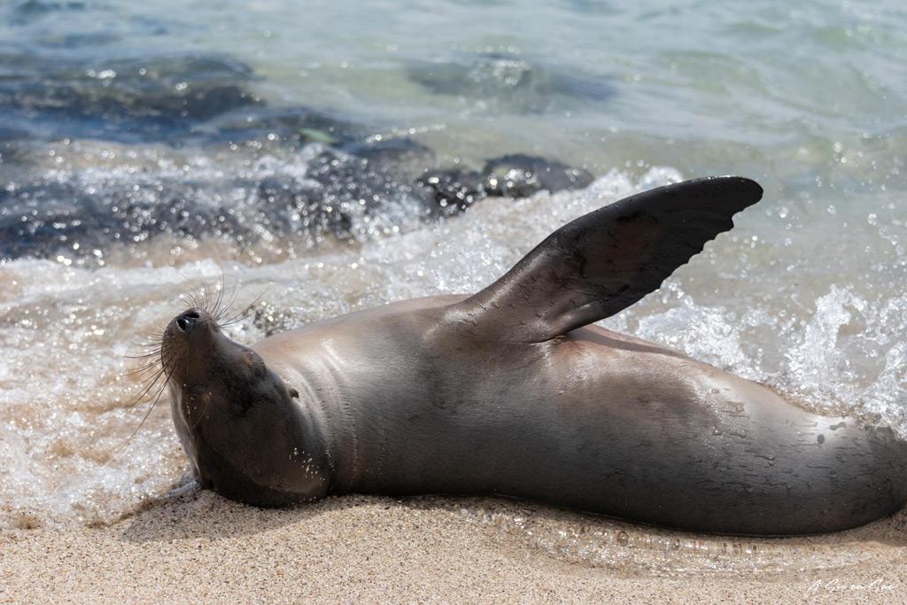 une otarie fait son spectacle à la playa de la estacion , santa cruz , galapagos , novembre2020