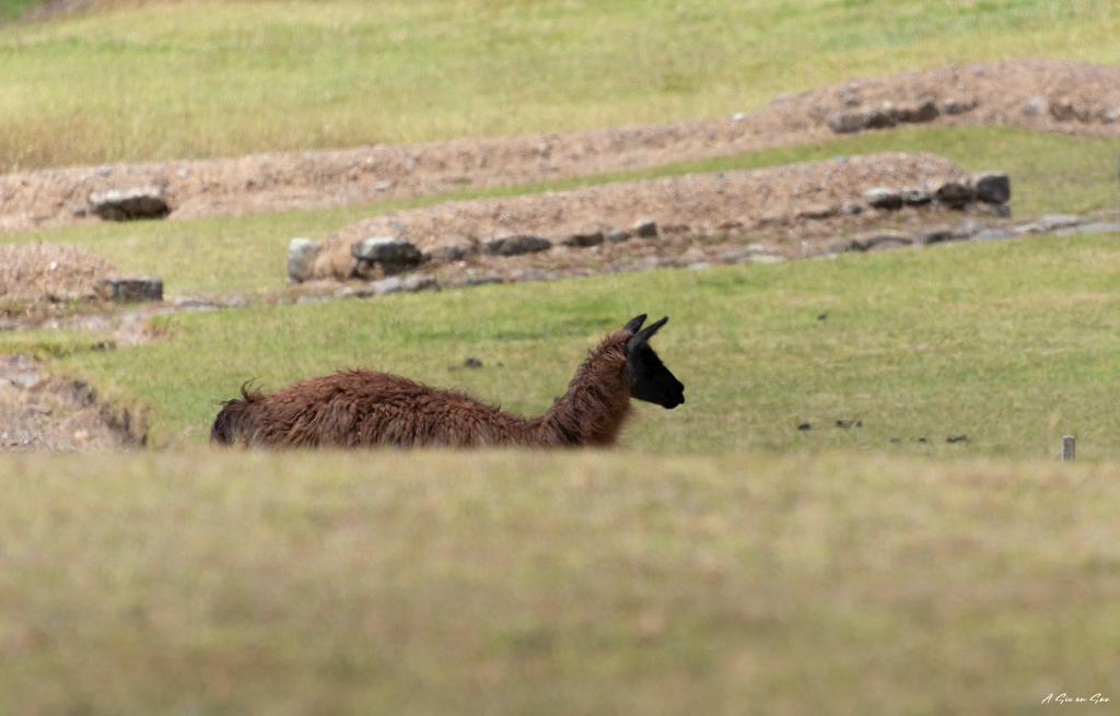 Lama en liberté sur le site d' Ingapirca dans les alentours de Cuenca en Equateur