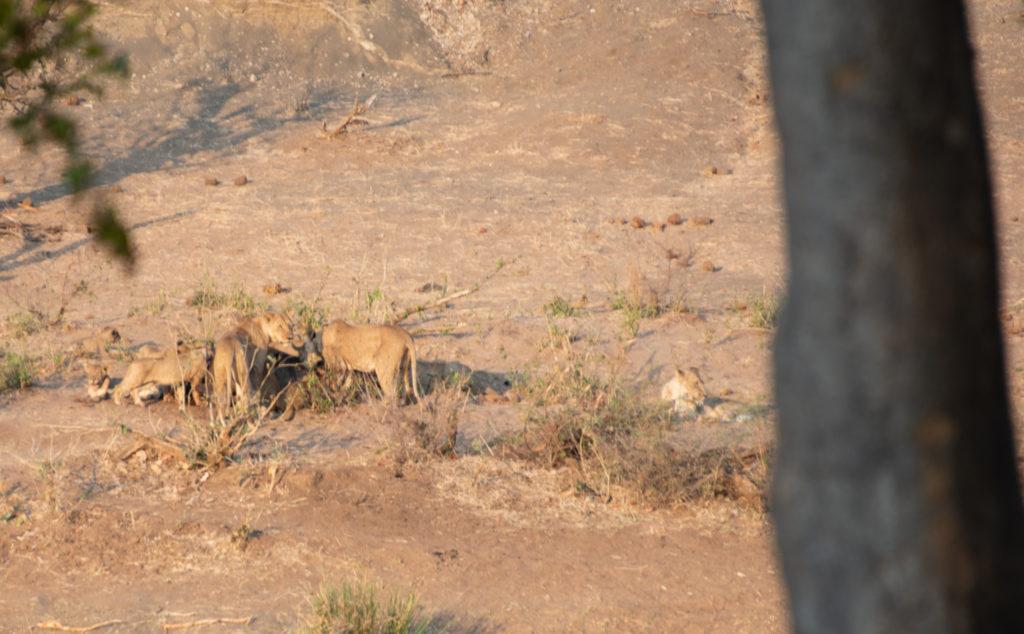 Safari au nord du parc Kruger : les lions occupés sur leur proie