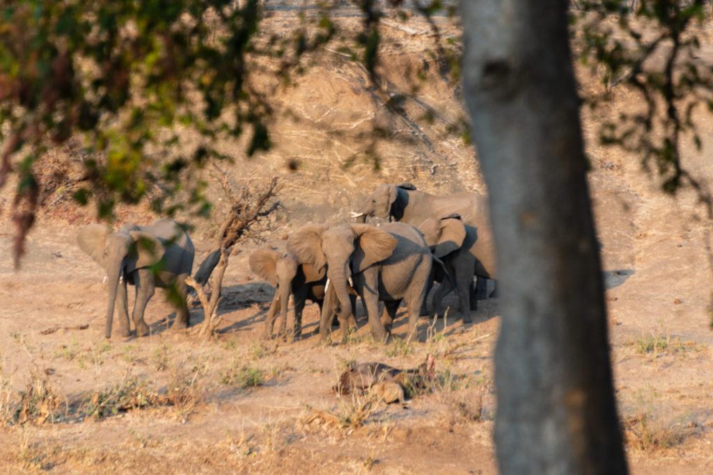 Safari au nord du parc Kruger : éléphants de l'autre coté de la rivière