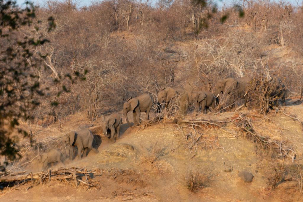 Safari au nord du parc Kruger : troupeau d'éléphants venant defier les lions