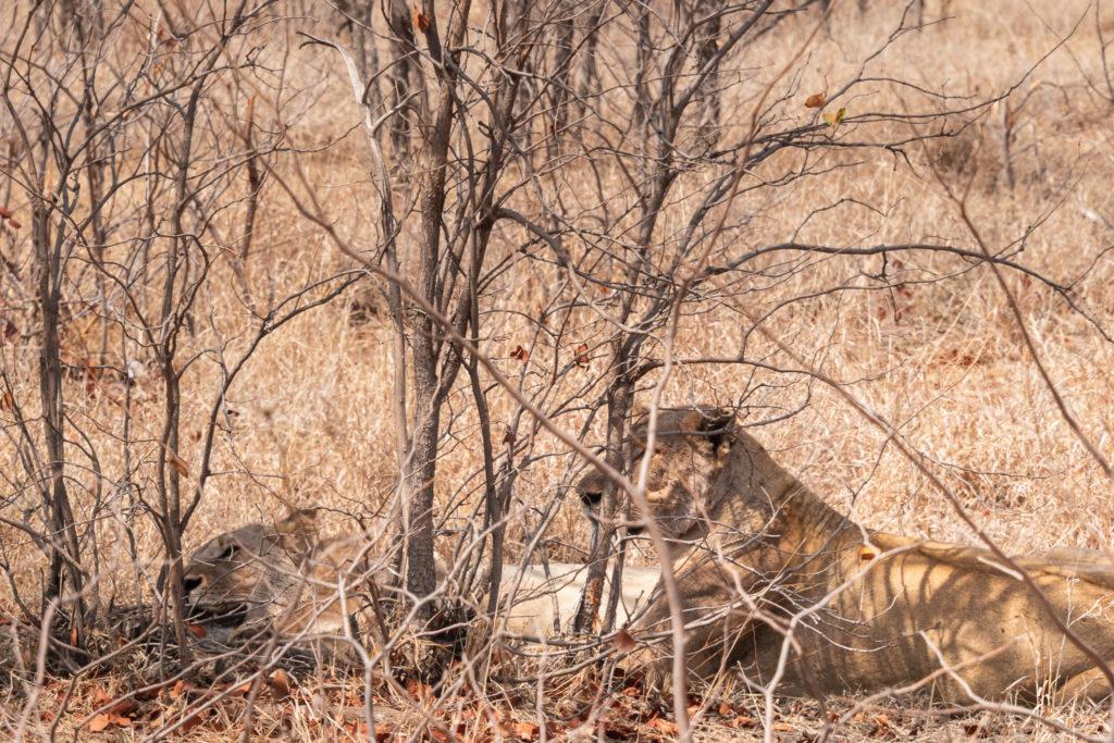Parc Kruger Nord safari ( une pause pendant le repas ?? )