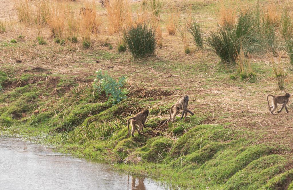 singes au bord d'une rivière au centre du parc kruger lors de notre safari en autonomie