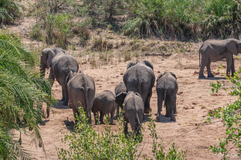 troupeau d'éléphants avant de ressortir par orpen gate au centre du parc kruger pendant notre safari