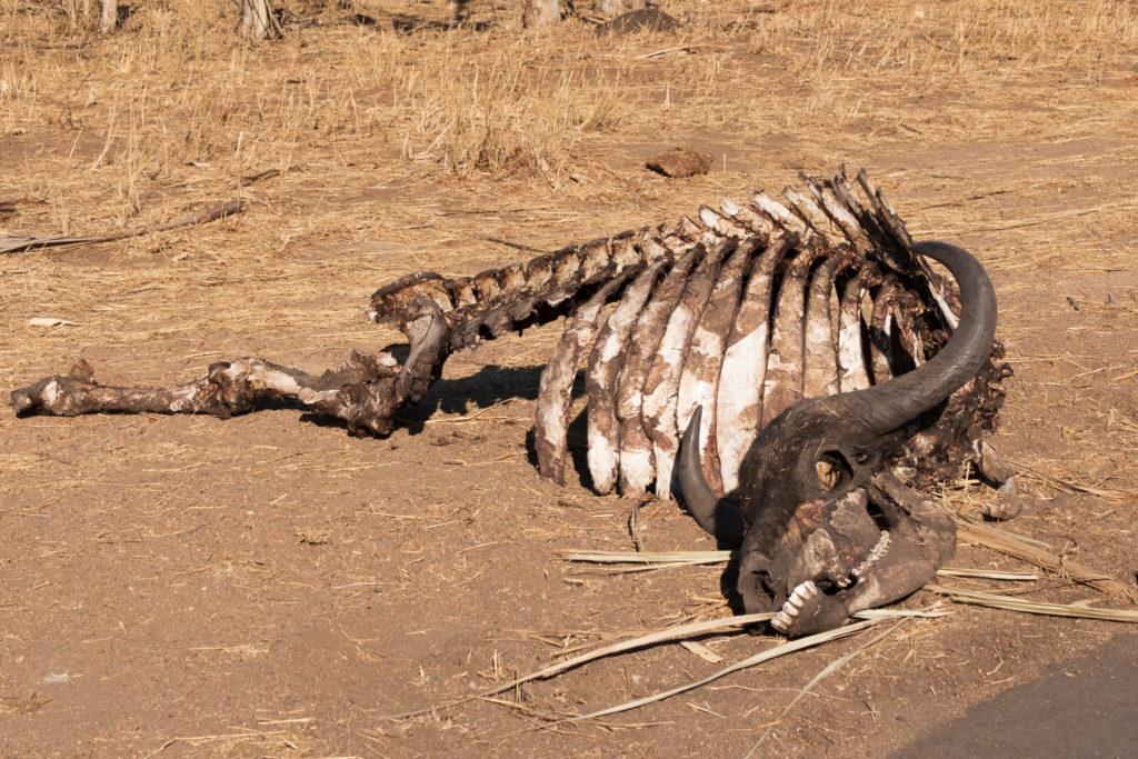 Safari au nord du parc Kruger : reste d'un bufle