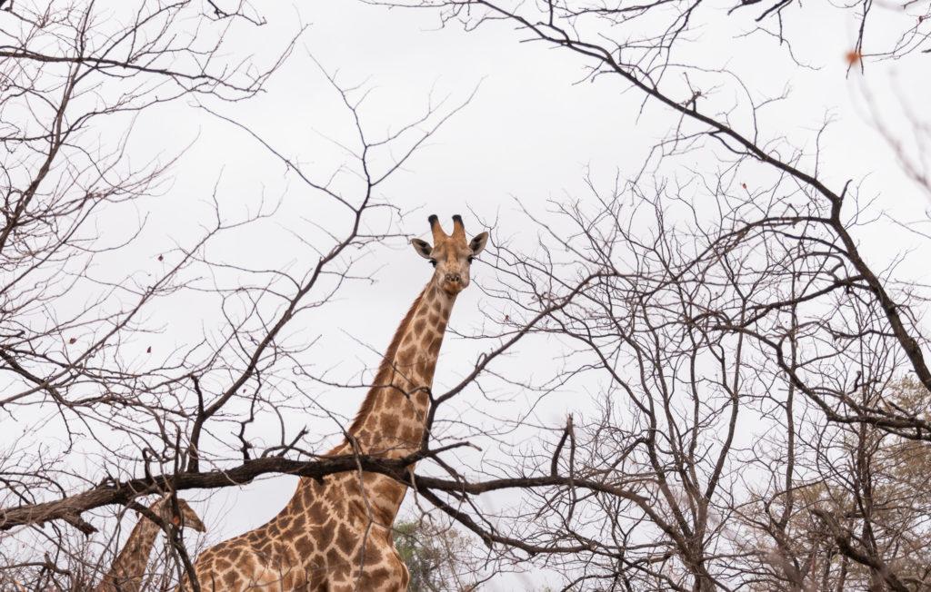 Parc Kruger Nord safari ( une girafe nous observe )
