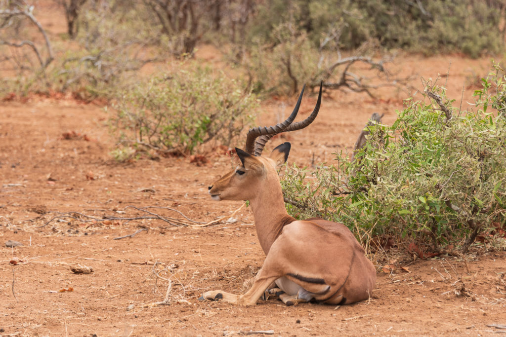 Parc Kruger Nord safari