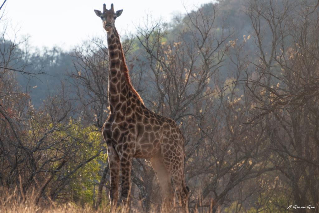 première rencontre avec une girafe pendant notre petit safari dans la game farm Boekenhoutbult en afrique du sud