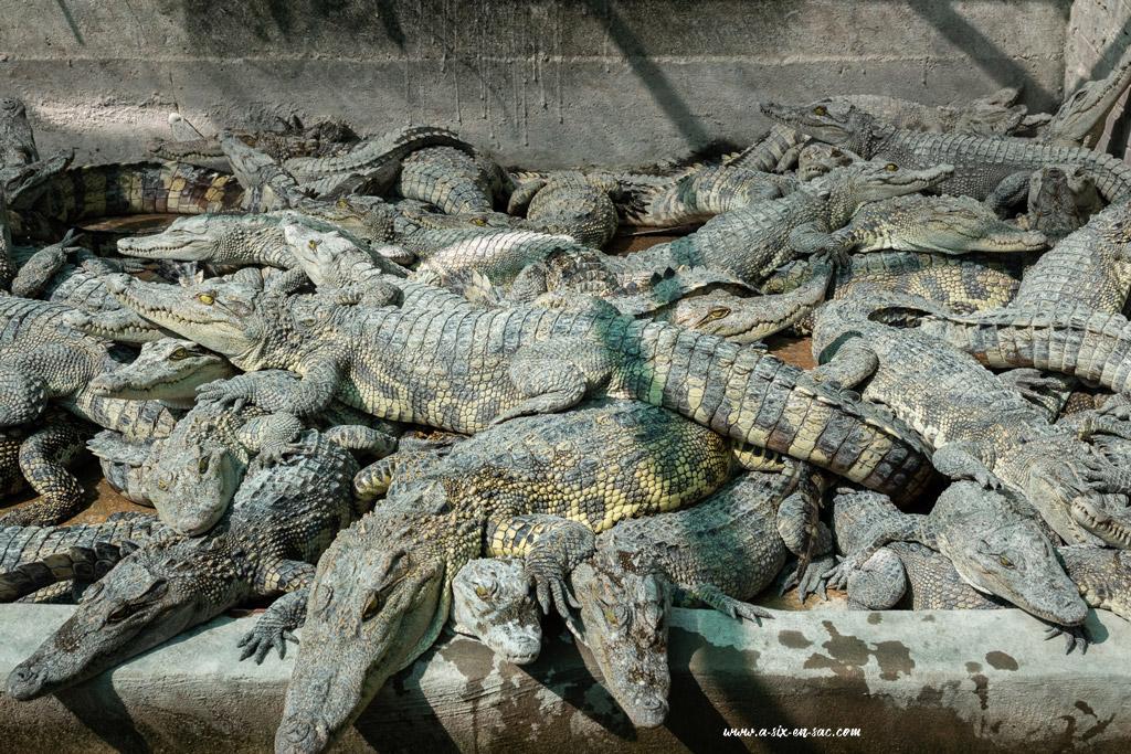 Les crocodiles adolescents entassés dans un enclos à Battambang-Cambodge