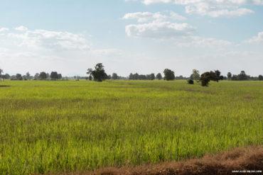 Champ de riz dans la campagne au sud de Battambang, Cambodge