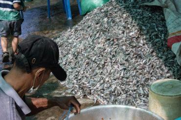 Saumure pour la préparation du prahoc, Battambang, Cambodge