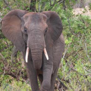 éléphant du Parc Kruger