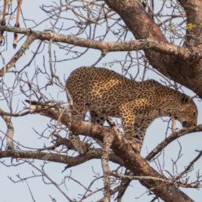 Léopard au Parc Kruger-bilan de nos 49 jours en TDM en famille