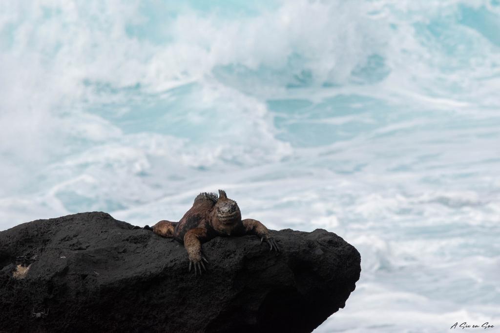 iguane au soleil rencontré avant d'accéder à Las Negritas - Galapagos San cristobal Equateuren chemin vers las