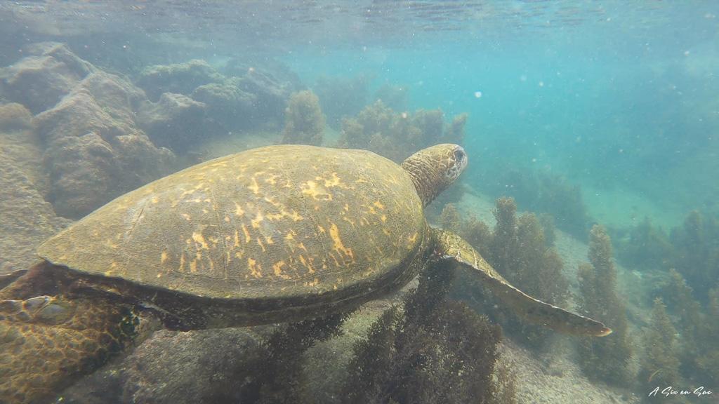 tortue marine lors de la sortie des Tuneles sur Isla Isabela aux Galapagos en novembre 2020