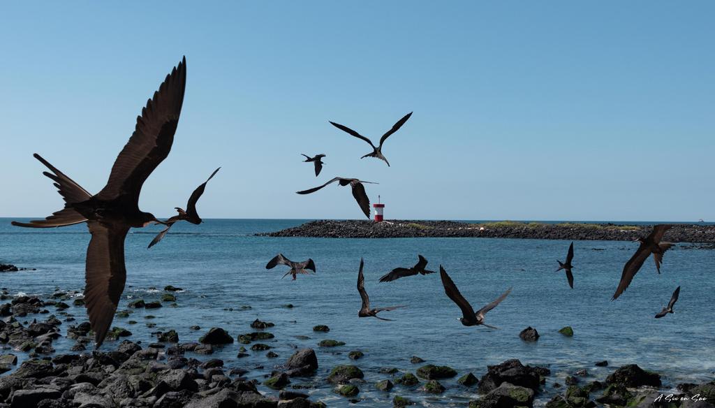 vol de fregates à Punta Carola ( se disputant un placenta d'otarie ) Galapagos San cristobal Equateur novembre 2020