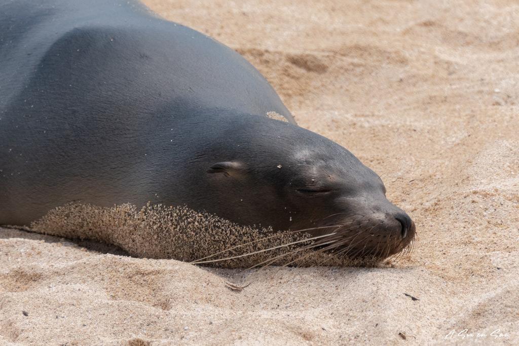 otarie dormant sur la plage de la estacion-santa cruz-galapagos-novembre 2020