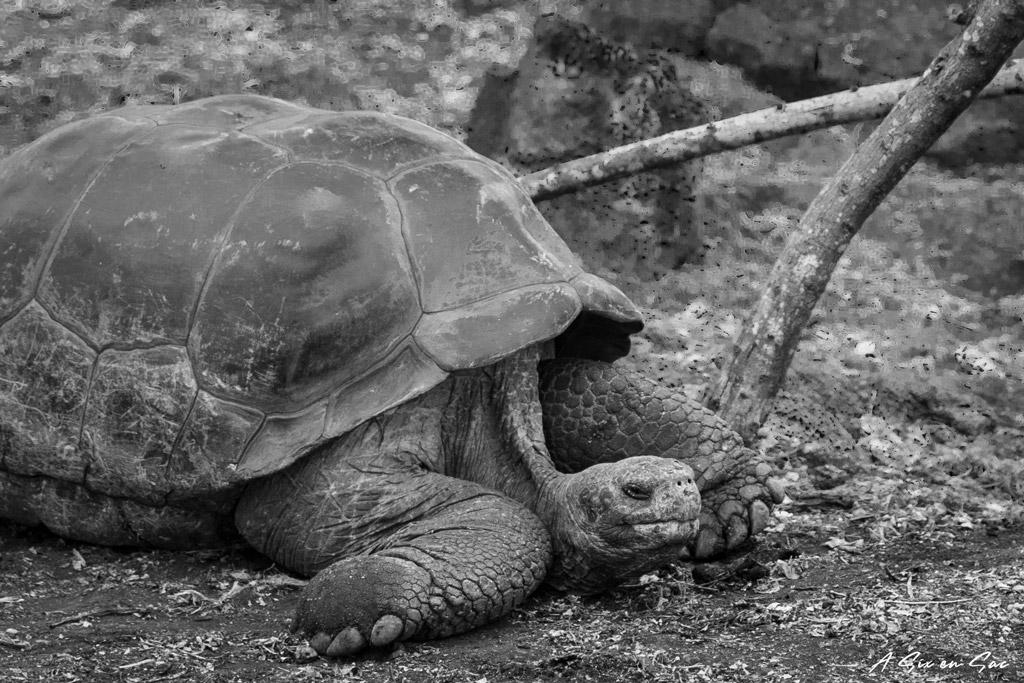 tortue terrestre du centre Darwin à Santa Cruz, Galapagos novembre 2020